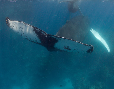 Humpback Whales of the Dominican Republic -- March 2013