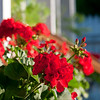 Geraniums at Blue House