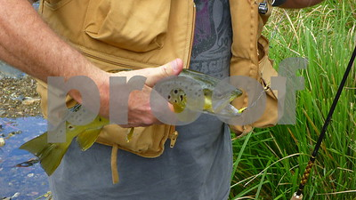 pretty coloured brown trout in the mulla creek. i released him to catch another day