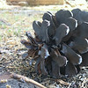 Pine Cone Closeup