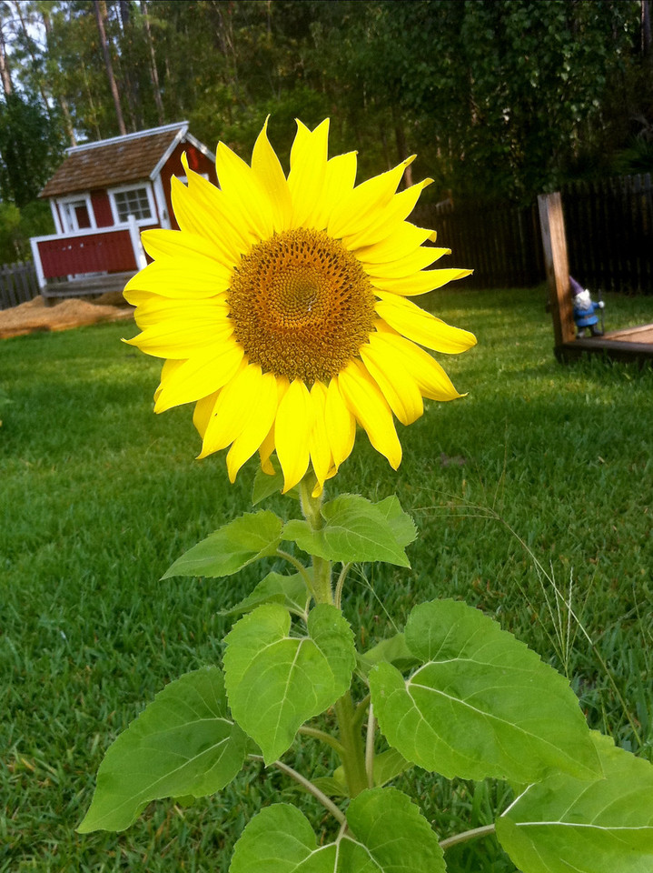 The Lone Sunflower<br />   -  May 12<br />   -  Day 132