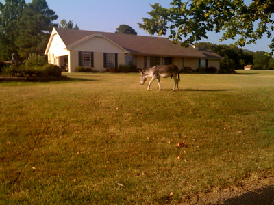 I guess we DO live in the sticks. Coming home from work this evening I saw a mule wandering around the neighborhood.