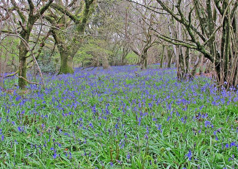 The Bluebell Wood at Great Hill.