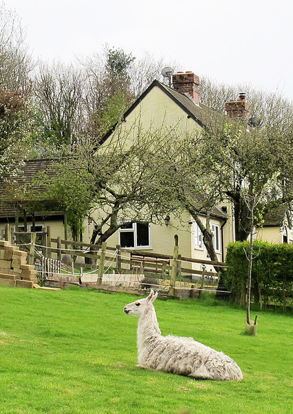 One of several Lamas at Higher Houghton Farm - the others are in the distance feeding.