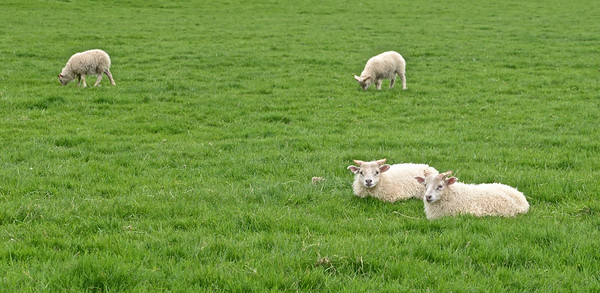 Sheep and lambs - near Skogafoss