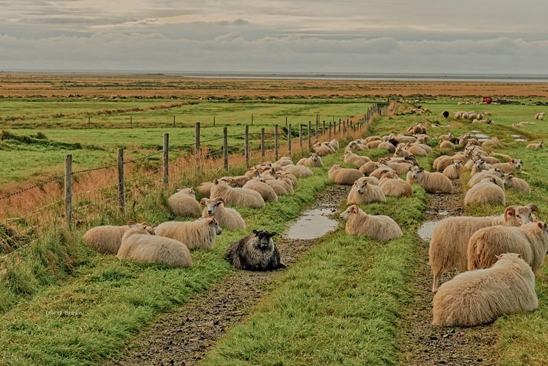 Icelandic Sheep - 1