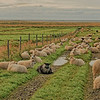 Icelandic Sheep - 1