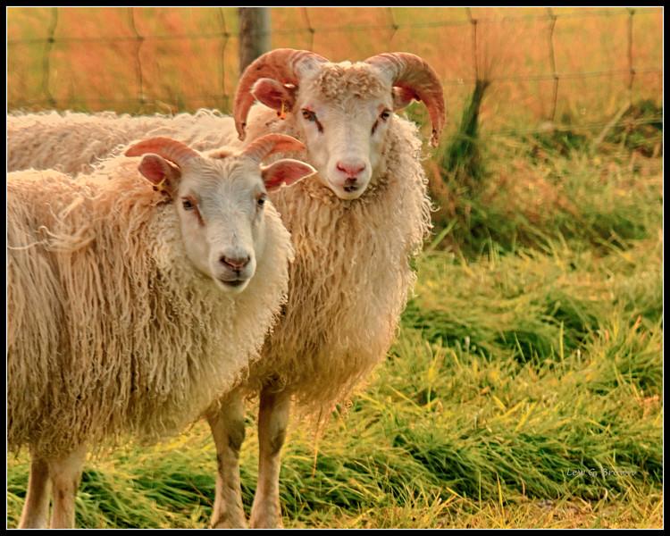 Pair of Icelandic sheep