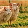 Pair of Icelandic sheep