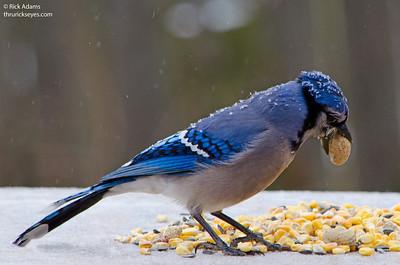 Snowy Bluejay