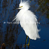 This image is of a beautiful Snowy Egret standing in the shallow end of a pond. The water is reflecting the trees hanging over the pond and the egret's feathers are ruffled since it was alarmed by a sudden noise in the area. This image is striking done in canvas.