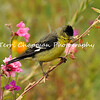 This is an image of a male Lesser Goldfinch perched on the stem of a wildflower.