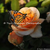"This image is of a male Monarch Butterfly that was born in my garden on October 22, 2015. Before he took his first flight into the world, I placed him on a ""Cary Grant"" rose. <br /> <br /> The iconic Monarch -- known as a familiar backyard beauty across the United States -- was once one of the most common butterflies of North America, noted for its spectacular multigenerational migration each year from Mexico to Canada and back. But in the past 20 years the Monarch population has declined by 90 percent. That's largely due to the widespread planting of genetically engineered crops in the Midwest (where most Monarchs are born) and the use there of Monsanto's Roundup herbicide, a potent killer of milkweed, the Monarch caterpillar's ONLY food.<br /> <br /> With the Monarch butterfly numbers at an all time low, the Monarch has cleared its first hurdle toward Endangered Species Act protection. In response to a summer 2014 petition by the Center and allies, the U.S. Fish and Wildlife Service has declared that safeguards may be warranted, and the agency is now embarking on a one-year review of the species' status.<br /> <br /> Habitat must be protected now, before we see the day when this miracle of nature is only a memory. So, will you plant Milkweed in your garden to help the Monarch survive? Planting new habitat will not only help butterflies around your home but will help butterflies reach others who without your assistance would not see a Monarch. One seed can change the world, but you have to plant it. Thank you for making a difference!"