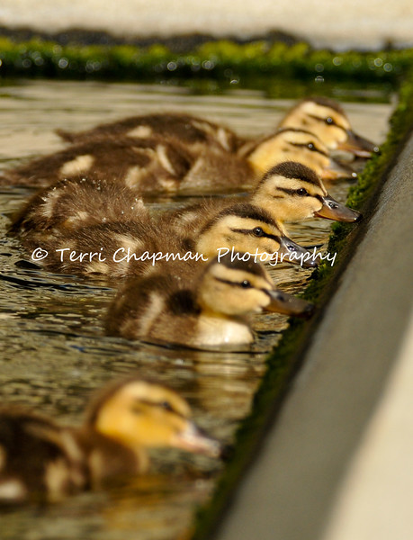 This image is of six Mallard Ducklings eating the algae off the side of a koi pond they were being raised in. This photograph was taken in the serenity garden of a local hospital and the mother Mallard apparently comes back each year to this garden to raise her offspring. I was a visitor to the hospital and I watched several hospital patients come to the garden to enjoy the ducklings and they said it took their mind off the reason they were hospitalized. The power of nature!