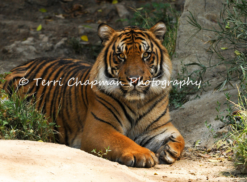 This image is of a male Sumatran Tiger. This tiger, along with his brother, were born at the Los Angeles Zoo and Botanical Gardens on August 6, 2011. Sumatran tigers are found only on the Indonesian island of Sumatra and are listed as Endangered by the International Union for Conservation of Nature (IUCN) for there are less than 500 tigers remaining in the wild. Continued agricultural habitat destruction, poaching, and killing of tigers that come into contact with villagers, all intensify the crises surrounding tigers.