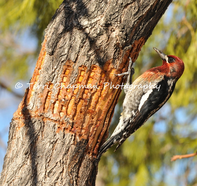 This image is of a male Red-breasted Sapsucker, photographed in Valyermo, CA. This beautiful bird is a winter visitor to Southern California. Like  other sapsuckers, these birds drill holes in trees and eat the sap as well  as insects attracted to it. Red-breasted Sapsuckers visit the same tree multiple times, drilling holes in neat horizontal rows (as shown in the photograph). A bird will leave and come back later, when the sap has started flowing from the holes. Sapsuckers also eat seeds and berries.