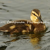 This image is of a Mallard Duckling swimming in a pond. I love the water droplets on its head.