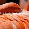 This image is of an American Flamingo at the Los Angeles Zoo and Botanical Gardens. These birds eat small shrimp, worms, insect larvae, and aquatic plants. They derive their pink coloration from the natural carotenoid pigment found in the foods they eat. In captivity they are fed a manufactured diet that contains a natural pigment to maintain their color.