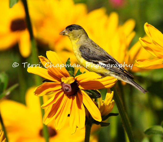 This image is of a male Lesser Goldfinch eating the leaves of a Black-eyed Susan Bloom.