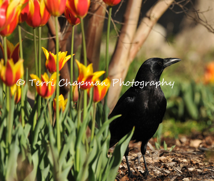 This image is of an American Crow standing along side Spring tulips that were growing at Descanso Gardens.