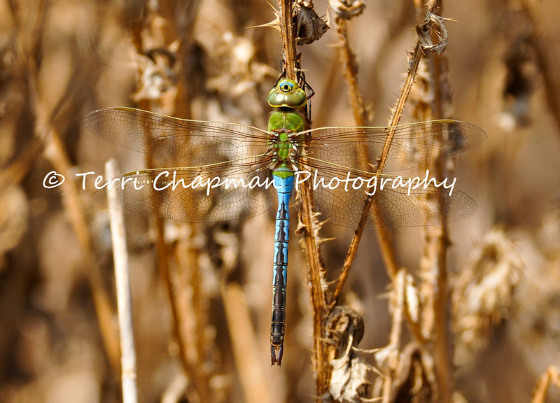 This image is of an adult male Green Darner Dragonfly. The Green Darner is one of the largest dragonflies and also one of the most common and abundant species throughout North America.
