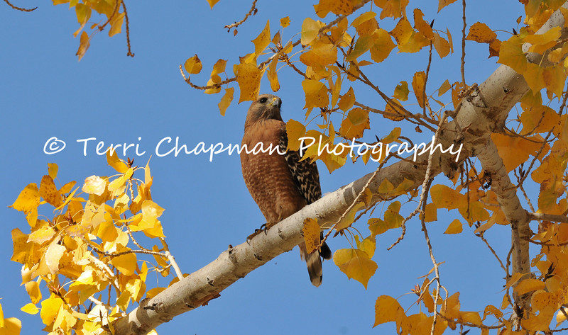 This image is of an adult Red Shouldered Hawk perched in a Cottonwood tree during Autumn. This hawk was photographed on the grounds of Saint Andrew's Abbey, which is a Benedictine Monastery located in Valyermo, California.