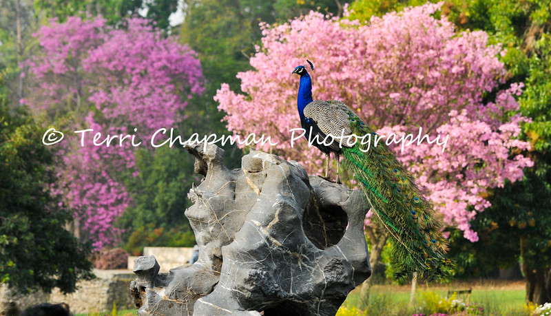 This image is of a male Indian Peacock proudly displaying his tail feathers. This male was photographed at the LA Arboretum during early Spring when the female peahens were all over the gardens and this male decided he was going to fly up on this rock and pose for the girls. The Pink Trumpet tree in the background provides a beautiful backdrop for the peacock's colorful feathers.