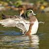 This image is of an American Wigeon stretching his wings, in the Los Angeles River. The picture is angelic to me. American Wigeon's short bill enables it to exert more force at the bill tip than other dabbling ducks, thus permitting efficient dislodging and plucking of vegetation. Populations declined by approximately 50 percent in the 1980s as a result of extended drought in prairie regions, but have since largely recovered.