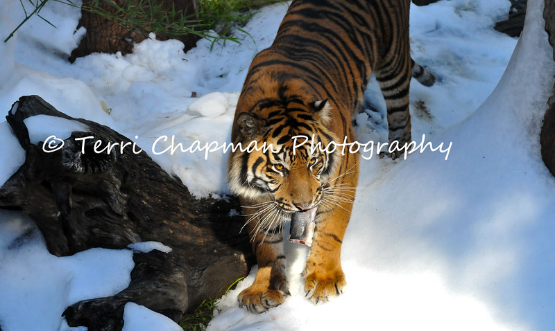 """This is an image of a male Sumatran Tiger, named C.J. This tiger resides at the Los Angeles Zoo & Botanical Gardens and in this photograph, C.J. is experiencing his first """"Snow Day."""" The Union Ice Company blanketed the tiger exhibit with fresh snow as part of an environmental enrichment program to help maintain the mental well being of the tiger. Sumatran tigers are listed as Endangered by the International Union for Conservation of Nature (IUCN) for there are less than 500 tigers remaining in the wild. Continued agricultural habitat destruction, poaching, and killing of tigers that come into contact with villagers, all intensify the crises surrounding tiger."""