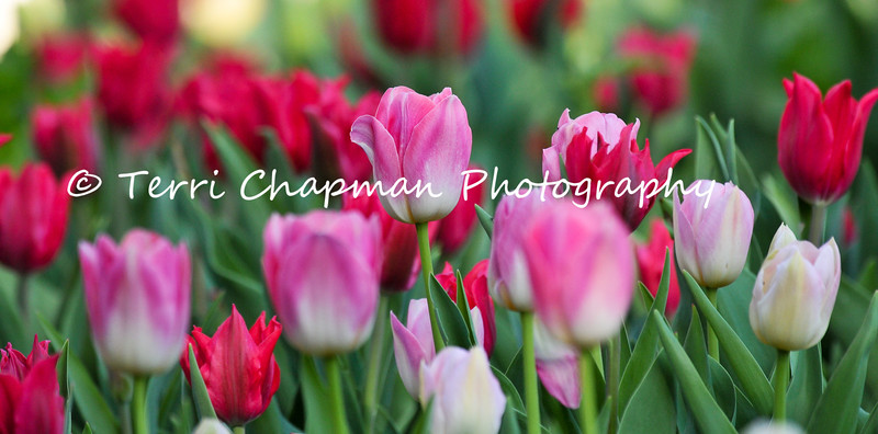 This image is of a Spring Tulip display at Descanso Gardens in La Canada, California.