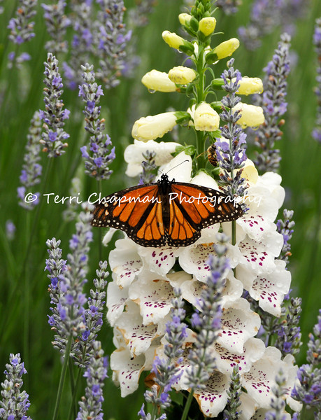 This image is of a Monarch Butterfly, and a Honey Bee next to it, drinking nectar from a Foxglove bloom that is surrounded by Lavender.