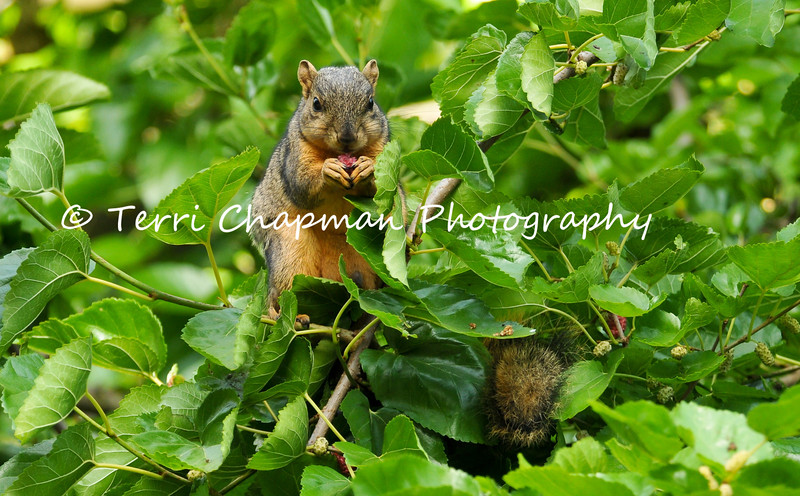 This image of a Fox Squirrel, eating a ripe Mulberry in a Mulberry tree, was featured in the summer 2017 issue of American Forests magazine.