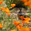 This image is of a Ground Squirrel surrounded by California Poppies. Sometimes being in the right spot, at the right moment, gives you an image like this because the squirrel was using the rock as a lookout and the poppies had just enough space between them so I could capture this moment.