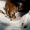 This image is of a female Sumatran Tiger enjoying Snow Day at the  Los Angeles Zoo and Botanical Gardens. Each year the zoo hires The Union Ice Company to come in and blanket certain animal exhibits with fresh snow as part of the zoo's enrichment program. The Animal Keepers enjoy building edible snowmen for the tigers and American Black bear and in this image the tiger is ready to explore the snow mouse that features pieces of fresh meat and vegetables. <br /> <br /> Sumatran tigers are found only on the Indonesian island of Sumatra and are listed as Endangered by the International Union for Conservation of Nature (IUCN) for there are less than 500 tigers remaining in the wild. Continued agricultural habitat destruction, poaching, and killing of tigers that come into contact with villagers, all intensify the crises surrounding tigers.