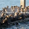 This image is of California Sea lions that took over a boat dock in Monterey, California.