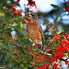 This image is of an American Robin, perched in a Firethorn bush, located in Julian California.