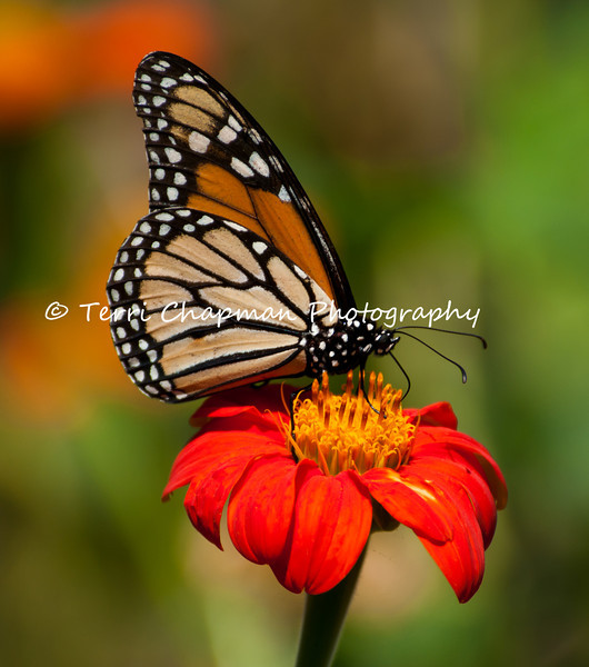 "This image, of a male Monarch Butterfly sipping nectar from a Mexican Sunflower bloom, was featured in the January 2014 issue of  ""Birds & Blooms"" magazine because it was a top finalist in the magazine's nature photo contest.<br /> <br /> The iconic Monarch -- known as a familiar backyard beauty across the United States -- was once one of the most common butterflies of North America, noted for its spectacular multigenerational migration each year from Mexico to Canada and back. But in the past 20 years the Monarch population has declined by 90 percent. That's largely due to the widespread planting of genetically engineered crops in the Midwest (where most Monarchs are born) and the use there of Monsanto's Roundup herbicide, a potent killer of milkweed, the Monarch caterpillar's ONLY food.<br /> <br /> With the Monarch butterfly numbers at an all time low, the Monarch has cleared its first hurdle toward Endangered Species Act protection. In response to a summer 2014 petition by the Center and allies, the U.S. Fish and Wildlife Service has declared that safeguards may be warranted, and the agency is now embarking on a one-year review of the species' status.<br /> <br /> Habitat must be protected now, before we see the day when this miracle of nature is only a memory. So, will you plant Milkweed in your garden to help the Monarch survive? Planting new habitat will not only help butterflies around your home but will help butterflies reach others who without your assistance would not see a Monarch. One seed can change the world, but you have to plant it. Thank you for making a difference!"