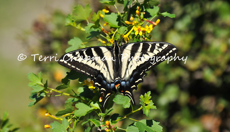 This is an image of a pristine Western Tiger Swallowtail. When I photographed this butterfly, I felt it had recently been born since there were no defects on the wings.