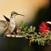 This image is of a Black-chinned Hummingbird balancing on a seedpod of a Baja Fairyduster plant.