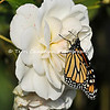 "This image is of a female Monarch Butterfly that was born in my garden on February 3, 2015. This female climbed onto an ""Iceberg"" rose to dry her wings after she emerged from her chrysalis. <br /> <br /> The iconic Monarch -- known as a familiar backyard beauty across the United States -- was once one of the most common butterflies of North America, noted for its spectacular multigenerational migration each year from Mexico to Canada and back. But in the past 20 years the Monarch population has declined by 90 percent. That's largely due to the widespread planting of genetically engineered crops in the Midwest (where most Monarchs are born) and the use there of Monsanto's Roundup herbicide, a potent killer of milkweed, the Monarch caterpillar's ONLY food.<br /> <br /> With the Monarch butterfly numbers at an all time low, the Monarch has cleared its first hurdle toward Endangered Species Act protection. In response to a summer 2014 petition by the Center and allies, the U.S. Fish and Wildlife Service has declared that safeguards may be warranted, and the agency is now embarking on a one-year review of the species' status.<br /> <br /> Habitat must be protected now, before we see the day when this miracle of nature is only a memory. So, will you plant Milkweed in your garden to help the Monarch survive? Planting new habitat will not only help butterflies around your home but will help butterflies reach others who without your assistance would not see a Monarch. One seed can change the world, but you have to plant it. Thank you for making a difference!"