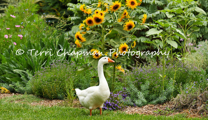 This image is of Powder; the beloved resident goose residing at Descanso Gardens in La Canada Flintridge.