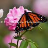 "This image is of a female Monarch Butterfly that was born in my garden on June 4, 2015. Before she took her first flight into the world, I placed her on an ""iceberg"" rose to rest up and I captured the moment. <br /> <br /> The iconic Monarch -- known as a familiar backyard beauty across the United States -- was once one of the most common butterflies of North America, noted for its spectacular multigenerational migration each year from Mexico to Canada and back. But in the past 20 years the Monarch population has declined by 90 percent. That's largely due to the widespread planting of genetically engineered crops in the Midwest (where most Monarchs are born) and the use there of Monsanto's Roundup herbicide, a potent killer of milkweed, the Monarch caterpillar's ONLY food.<br /> <br /> With the Monarch butterfly numbers at an all time low, the Monarch has cleared its first hurdle toward Endangered Species Act protection. In response to a summer 2014 petition by the Center and allies, the U.S. Fish and Wildlife Service has declared that safeguards may be warranted, and the agency is now embarking on a one-year review of the species' status.<br /> <br /> Habitat must be protected now, before we see the day when this miracle of nature is only a memory. So, will you plant Milkweed in your garden to help the Monarch survive? Planting new habitat will not only help butterflies around your home but will help butterflies reach others who without your assistance would not see a Monarch. One seed can change the world, but you have to plant it. Thank you for making a difference!"