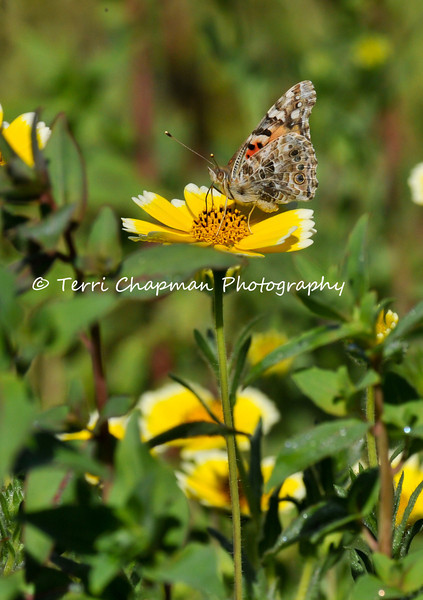 This image is of a Painted Lady Butterfly drinking nectar from a Tidy Tip flower.
