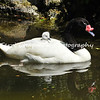 "This image is of a female Black-neck Swan carrying her ""cygnet"" on her back. These swans once lived at the Los Angeles Zoo and Botanical Gardens, but are indigenous to the lakes and marshes of southern South America. Throughout history, the swan has been a symbol of purity and beauty, and even though the Black-necked Swan is not of pure white like more well-known swans, it is still a legendary bird noteworthy of its own special beauty."