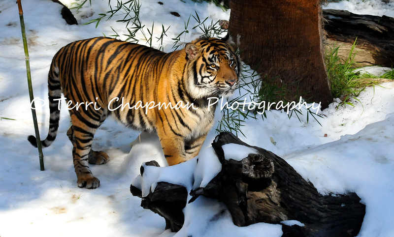 "This is an image of a male Sumatran Tiger, named C.J. This tiger resides at the Los Angeles Zoo & Botanical Gardens and in this photograph, C.J. is experiencing his first ""Snow Day."" The Union Ice Company blanketed the tiger exhibit with fresh snow as part of an environmental enrichment program to help maintain the mental well being of the tiger. Sumatran tigers are listed as Endangered by the International Union for Conservation of Nature (IUCN) for there are less than 500 tigers remaining in the wild. Continued agricultural habitat destruction, poaching, and killing of tigers that come into contact with villagers, all intensify the crises surrounding tiger."