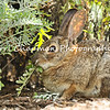 This image is of a wild Cottontail Rabbit eating vegetation