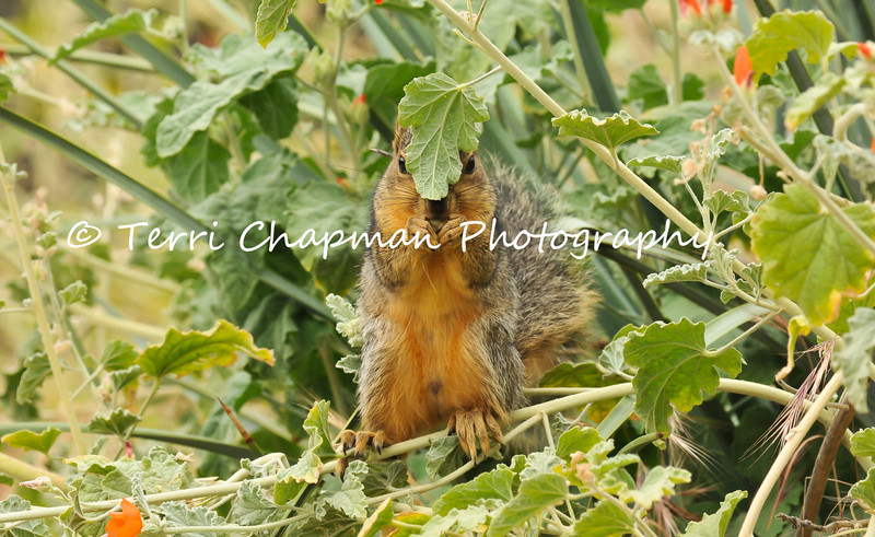 This image is of a juvenile Fox Squirrel eating the blooms from an Apricot Mallow plant.