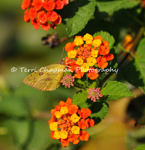 This image is of Cloudless Sulphur Butterfly drinking nectar from the flowers of a Lantana Bush.