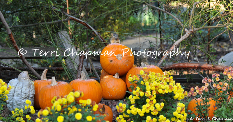 This image is of a Fox Squirrel eating pumpkin seeds from a pumpkin that is part of an Autumn display at Descanso Gardens.
