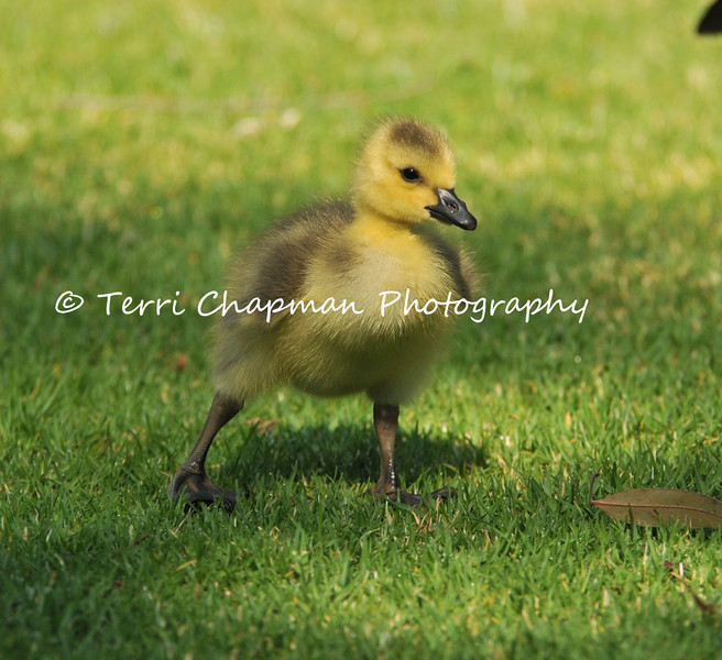 "This image is of a Canada Goose Gosling that is a few days old and learning to walk on grass at the LA Arboretum. Soon after they hatch, goslings begin pecking at small objects, and spend most of their time sleeping and feeding. They remain with their parents constantly, though sometimes ""gang broods"" form, especially in more southern latitudes.Young often remain with their parents for their entire first year. Canada Geese are particularly drawn to lawns for two reasons: they can digest grass, and when they are feeding with their young, manicured lawns give them a wide, unobstructed view of any approaching predators. So they are especially abundant in parks, airports, golf courses, and other areas with expansive lawns."
